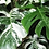 Thumbnail: Monstera - assorted