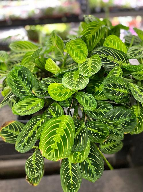 Prayer Plant - assorted