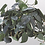 Thumbnail: Philodendron - assorted vines