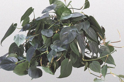 Philodendron - assorted vines