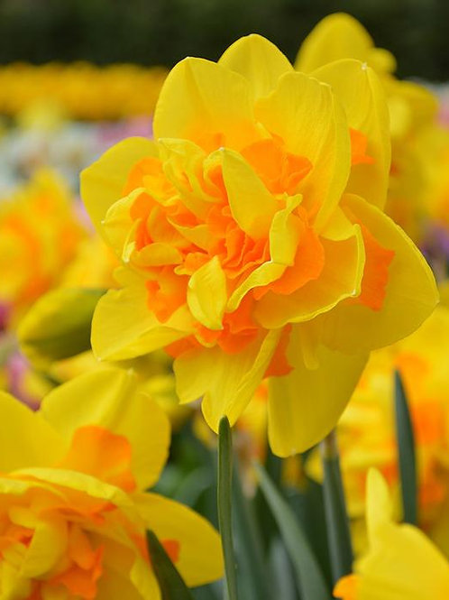 Daffodil Queensday
