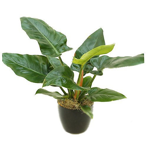 Philodendron - assorted