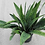 Thumbnail: Snake Plant - assorted
