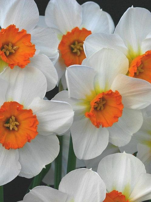 Daffodil Barrett Browning