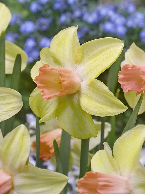 Daffodil Mini 'Prototype'