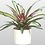 Thumbnail: Bromeliad - assorted