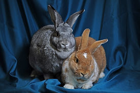 Taffeta and Teuvo the rabbits.