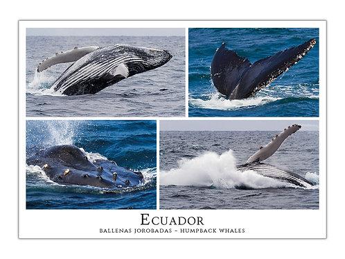 Ecuador - Ballenas Jorobadas