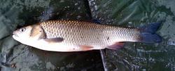 trout 4