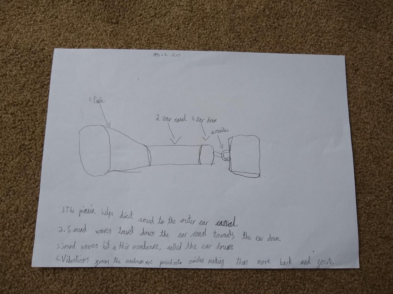 thumbnail_roberta's ear model diagram