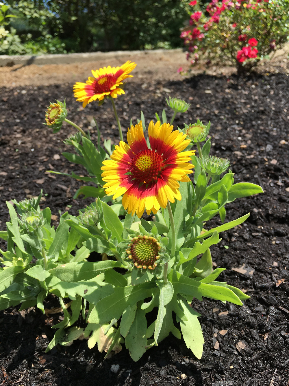 The Blanket Flower is loving the spot I moved it to.