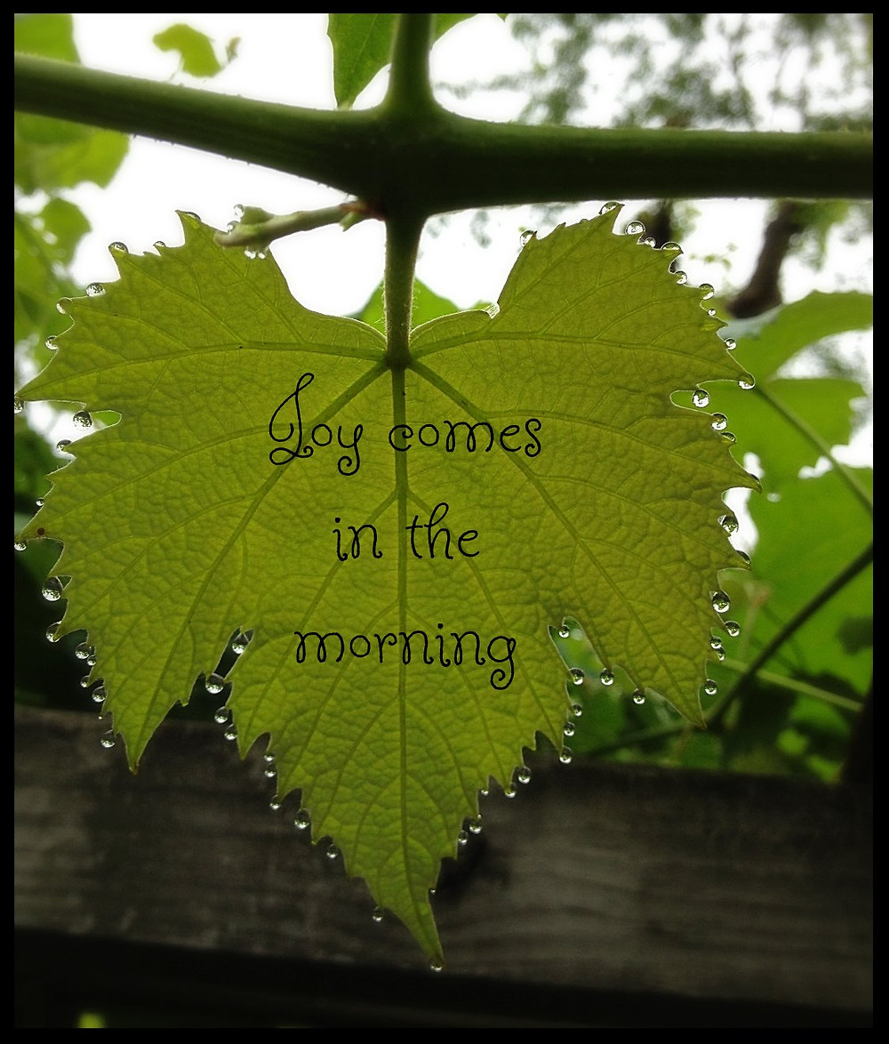 Morning dew on our grape vine