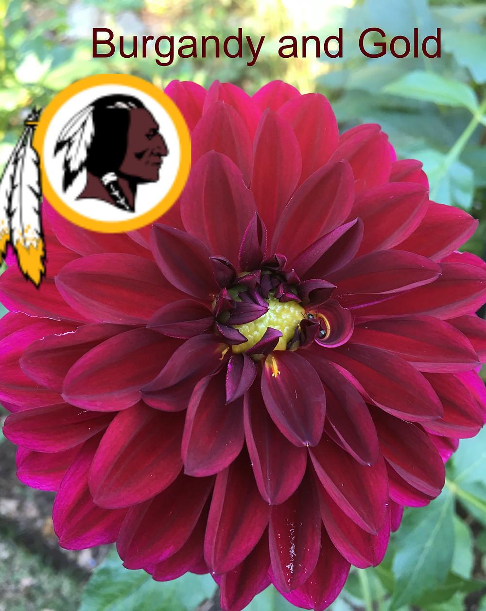 A beautiful dahlia specimen shares colors with the Washington Redskin football team