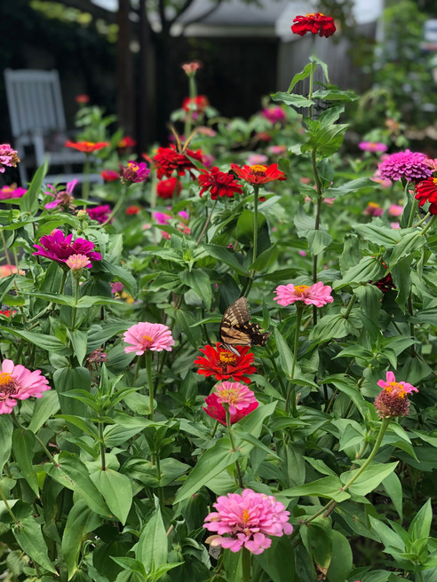 When All Else Fails, Plant a Zinnia