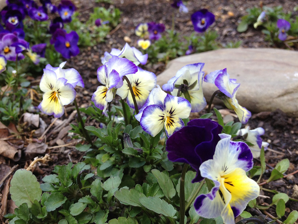 The tricolor pansy returns in early spring