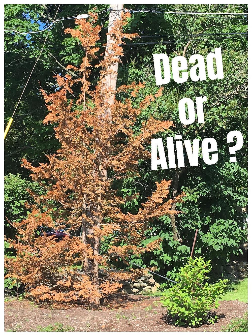 Hinoke Cypress appears to be dead.