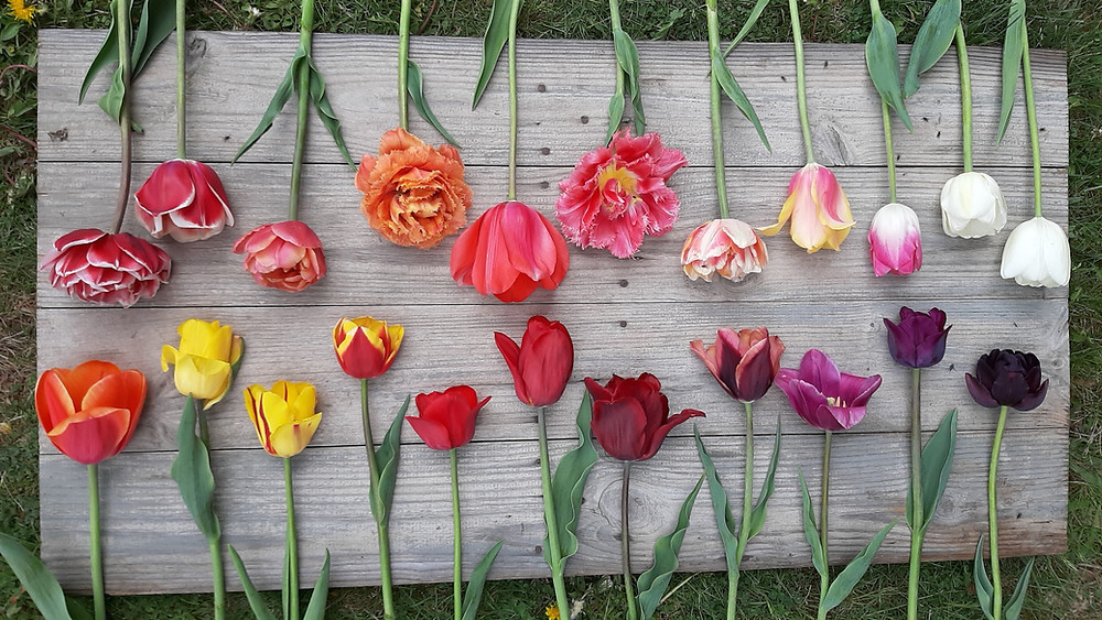tulips of every colour