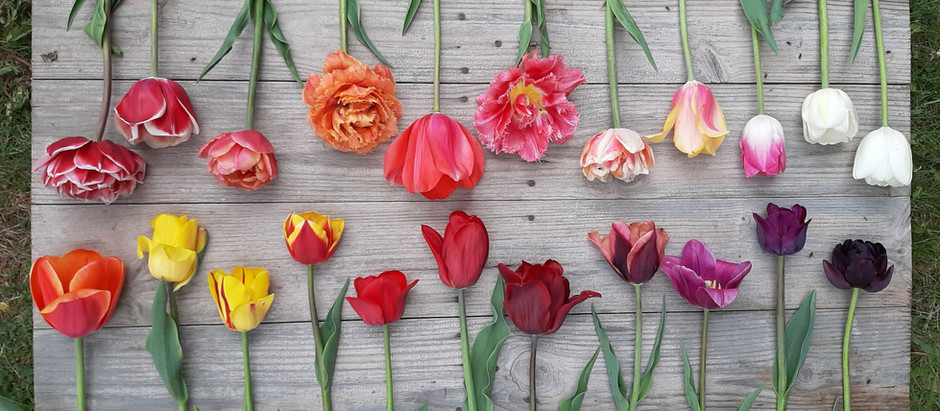 Say it with Tulips