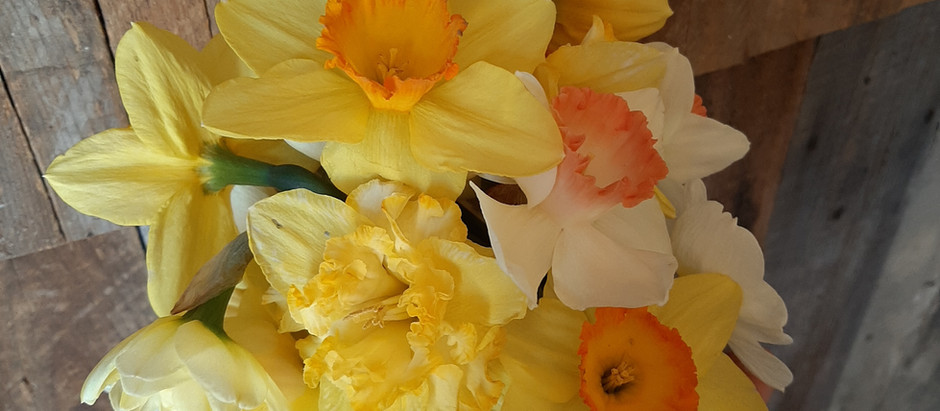 Daffodils: a Sunny Sign of Spring