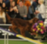 Ava Culbertson Westminster agility 2-8-2