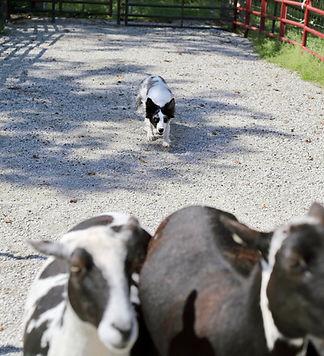 Inka herding cattle.jpeg