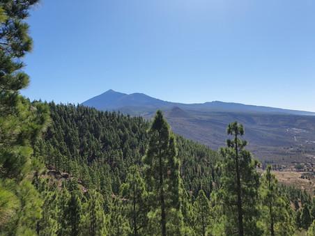 Furuskógur og El Teide
