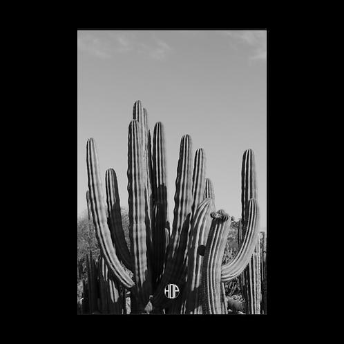 Cacti Madness Postcard