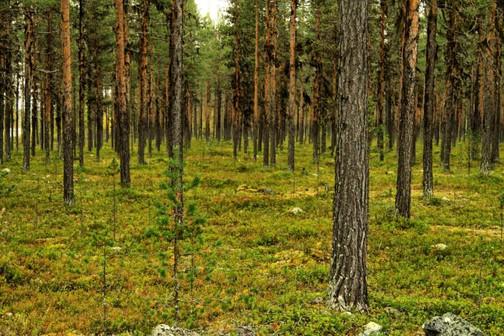Bartflechten wachsen an den Bäumen