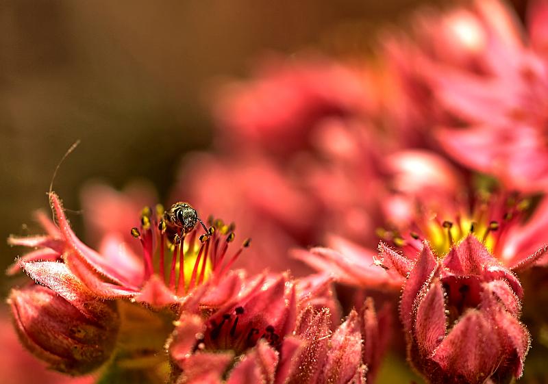 Eine Scherenbiene