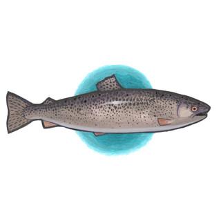 Ocean Trout