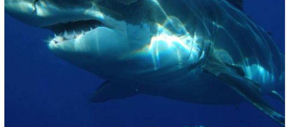 Ana Mª Abril y Eric Clua explican que el escualo avistado en Cabrera no era un tiburón blanco