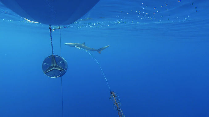 Shark Med tintorera08.jpg