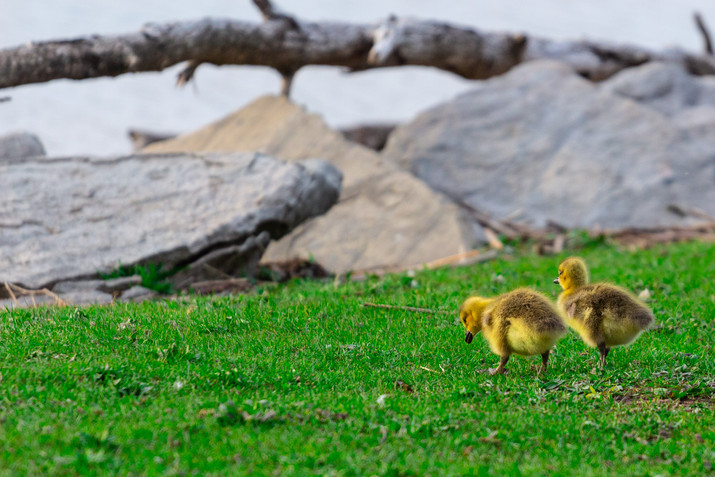 Baby Geese friends
