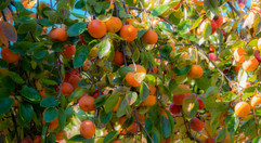 Paradise for Persimmons.jpg