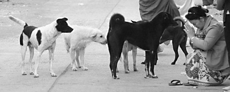Our neighbour giving food to the monks surrounded by dogs