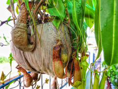 A pitcher plant on our terrace in Thaila