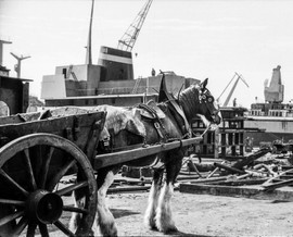 A patient horse quietly waits for its load in a Glasgow shipyard from the 1960s
