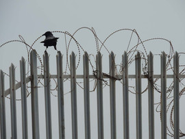 Trapped a black bird on iron stakes trap