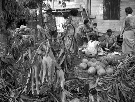 Collecting coconuts in Thailand