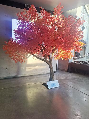 4m Tall Orange Maple tree