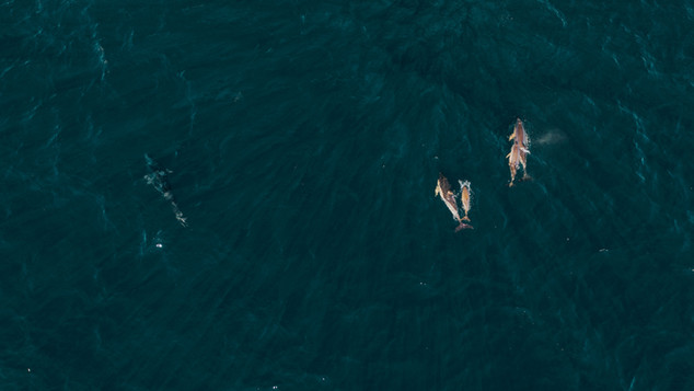 Thon et dauphins