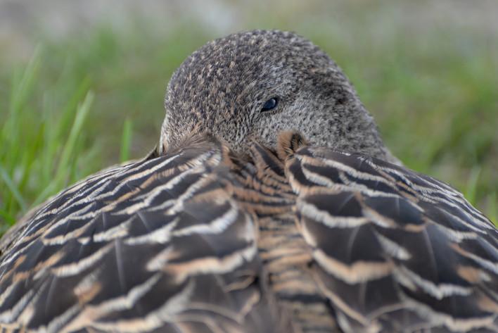 Nesting Eider Duck