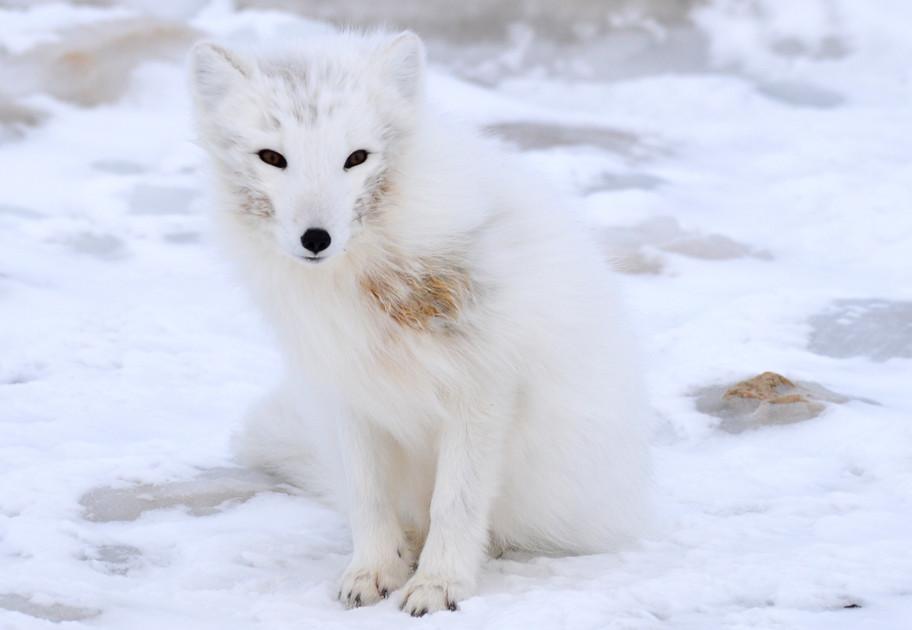 Kit - young Arctic fox