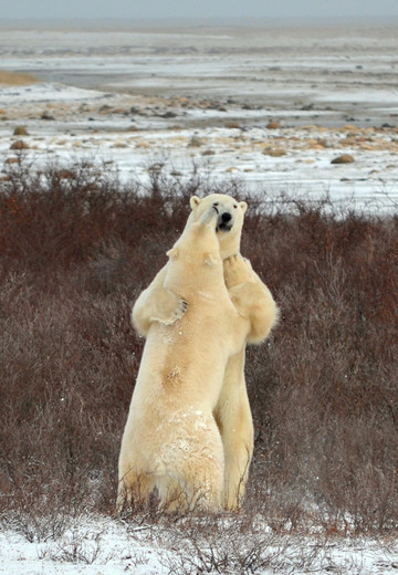 Dancing with The Bears
