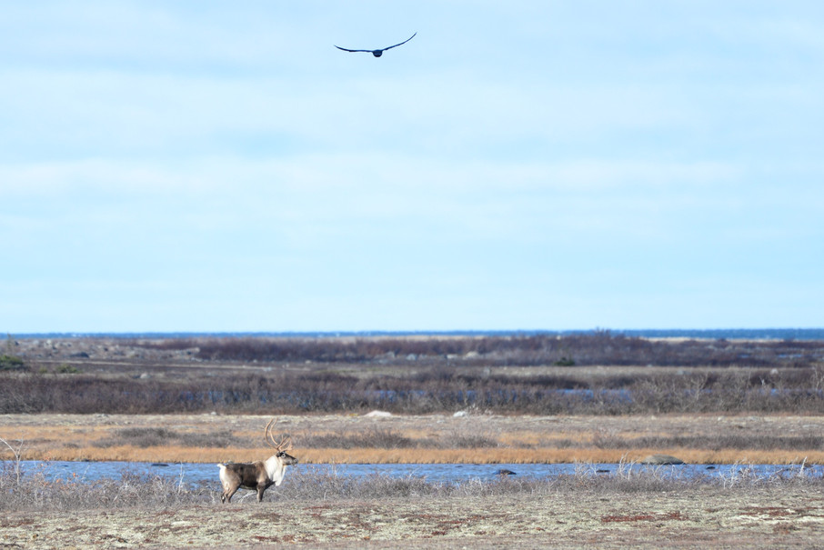 Caribou and a Hawk