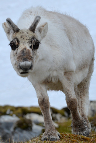 Reindeer are very friendly and have the longest eyelashes!
