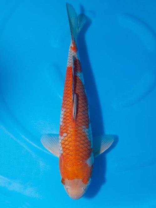 Ikarashi // 30 - 35cm