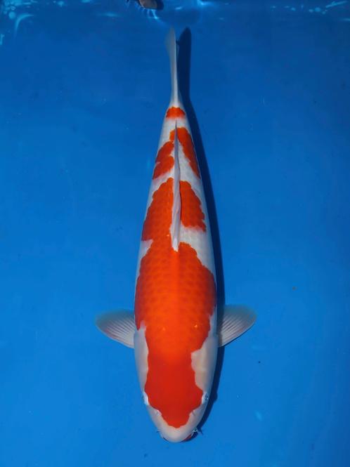 Matsue // Sansai // 60-65cm