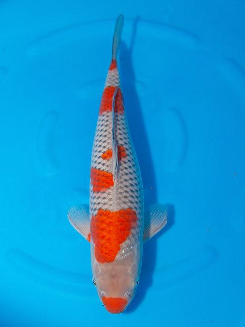 Ikarashi // 35 - 40cm