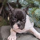 French-Bulldog_Male2.jpg